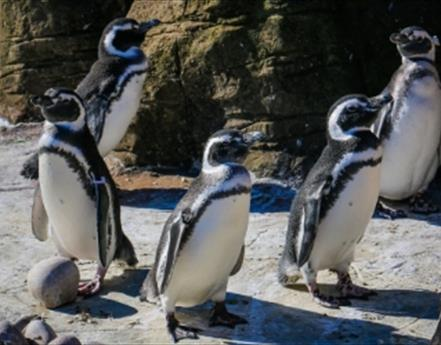 Penguins Migrate West For Winter