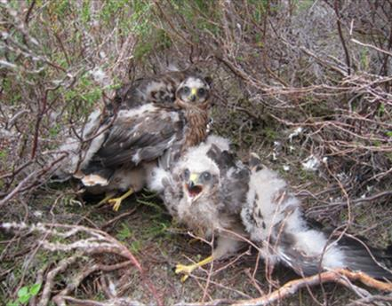 13 hen harrier chicks fledge in Bowland