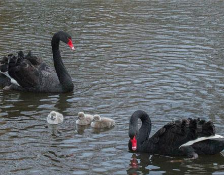 Black swan cygnets hatch at Martin Mere