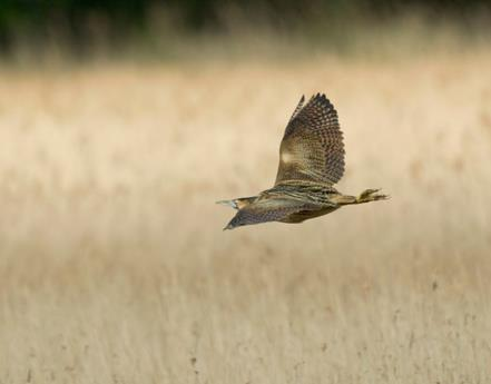 Bitterns bouncing back at RSPB Leighton Moss